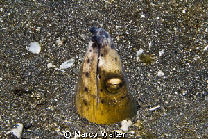 Black-finned snake eel in Lembeh Strait by Marco Walter 